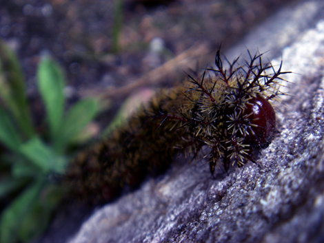 Buck Moth Caterpillar